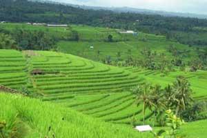 Jatiluwih Bali Tempat Wisata Di Bali