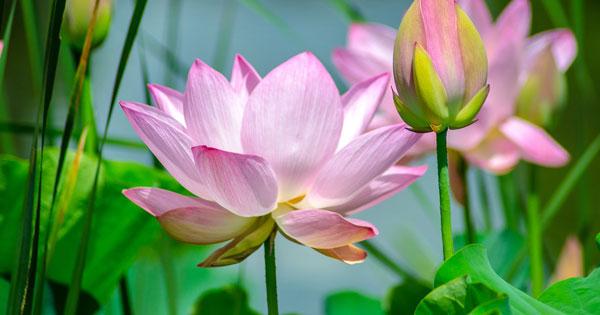 Pura Kolam Bunga Teratai
